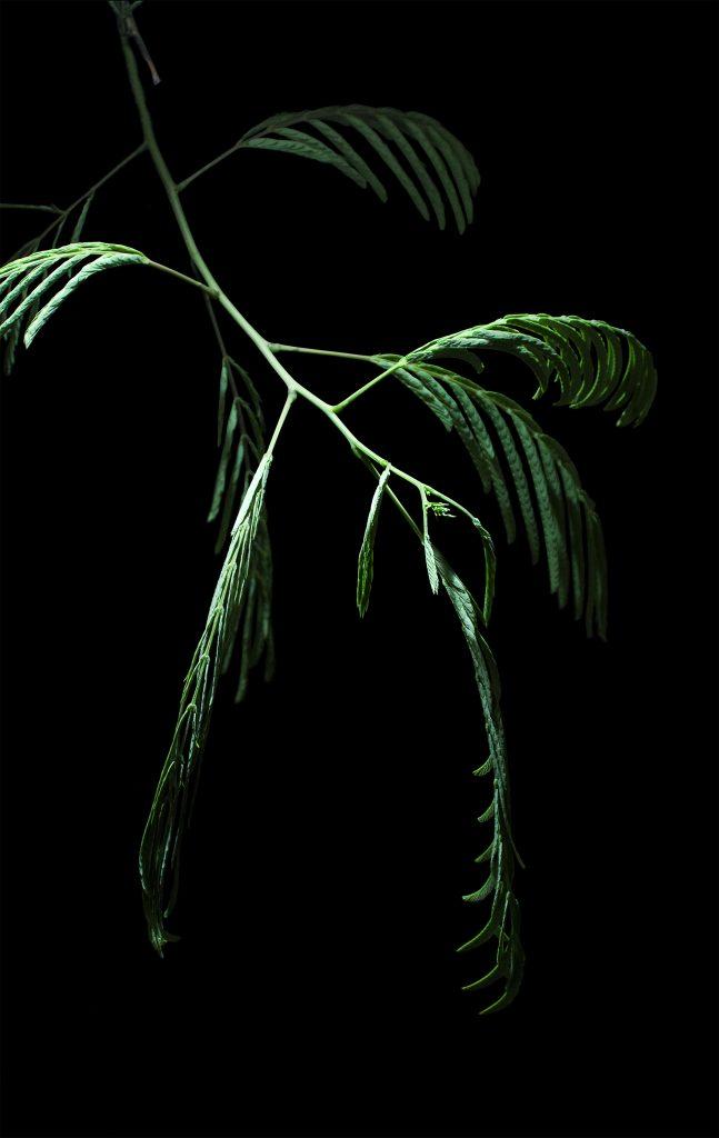 Marcel Noack & Katharina Triebe: Albizia fabaceae